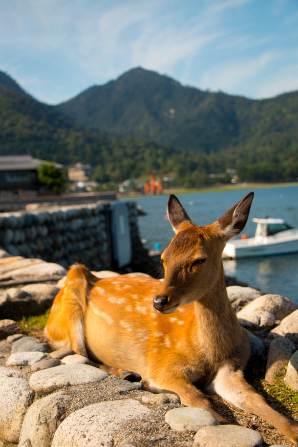 AM5 'Be a deer and pose for me Itsukushima, Hirosima- Miyajima World Heritage Site'