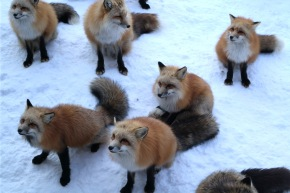 Fox Villages and Calderas; the Miyagi-Magic of Zao