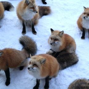 Fox Villages and Calderas; the Miyagi-Magic ofZao